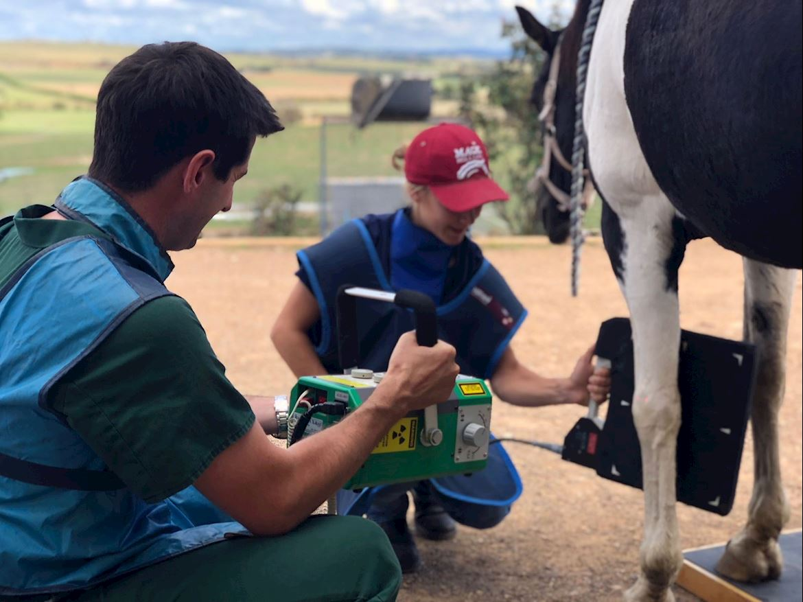 Digital X-rays been taken of a horse by the Clinton Street Veterinary Clinic