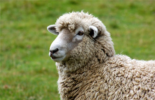 Footrot affects sheep