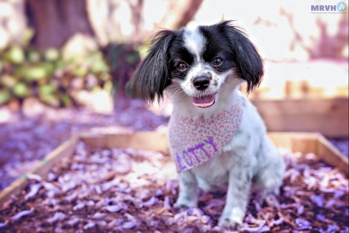 Lotty the Papillon dog. Heartworm prevention.
