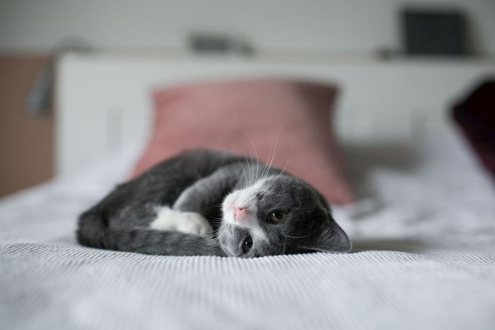 Grey kitten snuggled on white bed with pink pillow behind