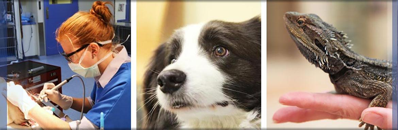 Canine dental