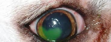 corneal ulceration dog